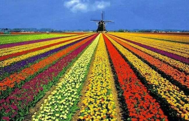 Molinos y Flores de Holanda